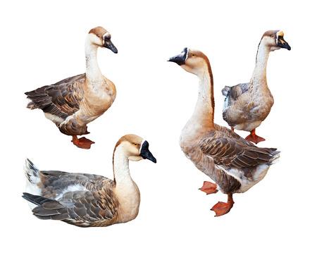 Set of Greylag Gooses.  Isolated over white background