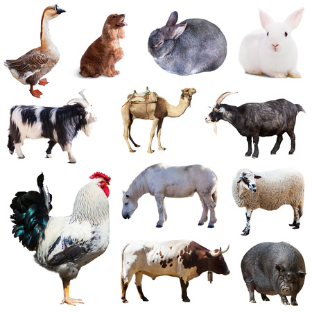 Set of cock and other farm animals  Isolated over white background