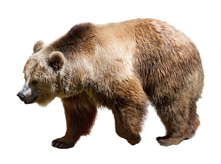 Photo pour Side view of bear. Isolated  over white background    - image libre de droit