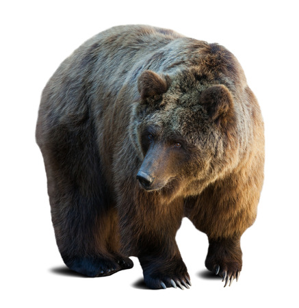 Photo for brown bear over white background with shade - Royalty Free Image