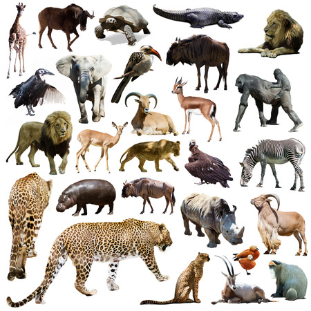 Set of leopard and other African animals. Isolated over white
