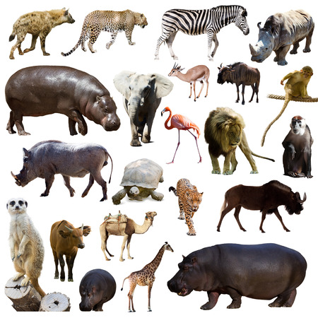Set of hippopotamus  and other African animals. Isolated over white