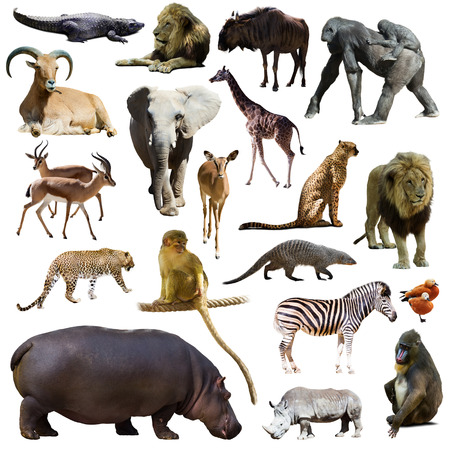 Set of hippopotamus and other African animals. Isolated on white background
