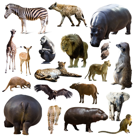 hippo and other African animals. Isolated over white background