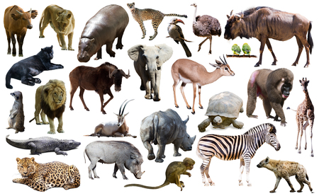 Photo for Set of different African animals isolated over white - Royalty Free Image