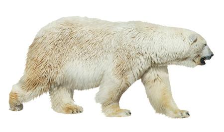 Photo for White polar bear isolated on white background - Royalty Free Image