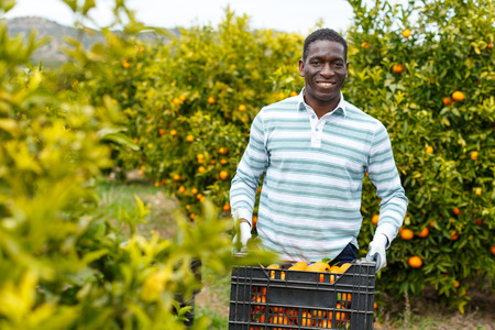 Foto de Confident African-American farmer carrying plastic box full of ripe mandarin oranges on citrus plantation - Imagen libre de derechos