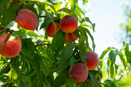 Photo pour Close up of ripe peaches on trees on sunny day - image libre de droit