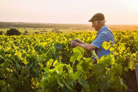 Photo for A senior winegrower works in his vines at sunset - Royalty Free Image