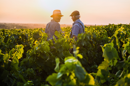 Photo pour Two French winegrowers in their vines at sunset - image libre de droit