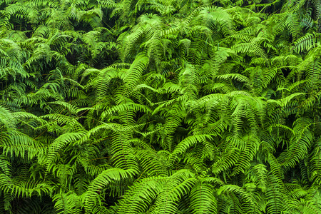 Photo pour Natural green fern in the forest - image libre de droit