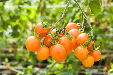 Foto per Branch of fresh cherry tomatoes hanging on trees in organic farm. - Immagine Royalty Free