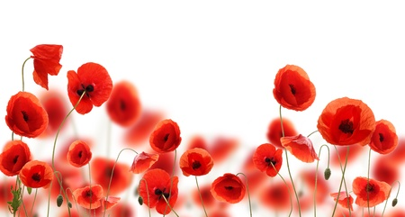 Photo pour Poppy flowers isolated on white background  - image libre de droit