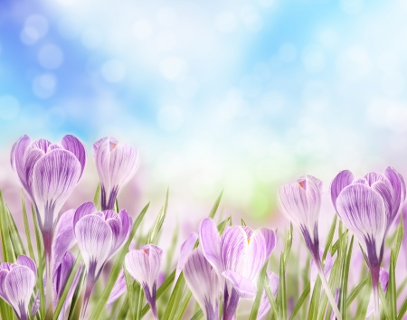 Photo for Crocuses - Royalty Free Image