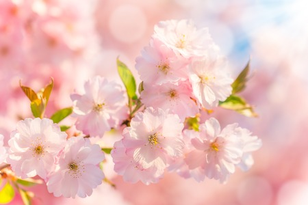 Photo pour Spring blossoms - image libre de droit