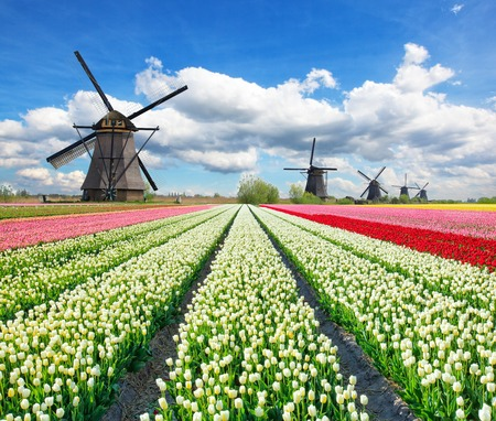 Photo pour Vibrant tulips field with Dutch windmills, Netherlands. Beautiful cloudy sky - image libre de droit