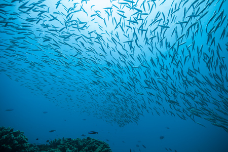 Foto de Flock of fish flowing in Indian ocean - Imagen libre de derechos