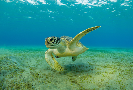 Foto de Hawksbill turtle eating sea grass from sandy bottom. Wild animal underwater photography, marine life, diving and snorkeling activities. - Imagen libre de derechos