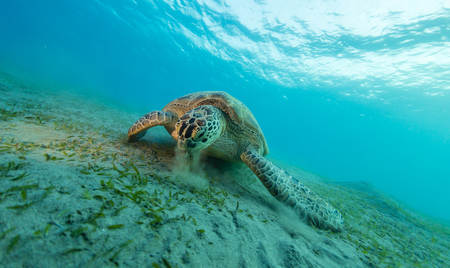 Photo pour Hawksbill turtle eating sea grass from sandy bottom. Wild animal underwater photography, marine life, diving and snorkeling activities. - image libre de droit