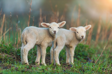 Photo pour Cute young lambs on pasture, early morning in spring. Symbol of spring and newborn life. - image libre de droit