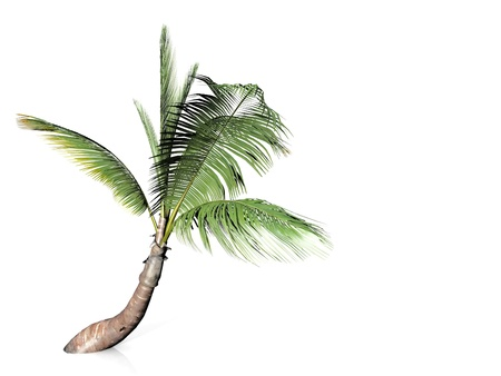 Photo for palm tree on white background - Royalty Free Image