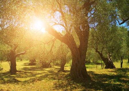 Photo pour Plantation of olive trees - image libre de droit