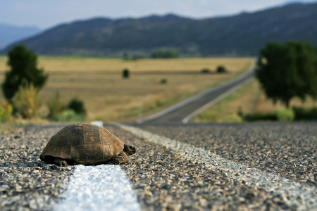 Photo for Turtle crossing the rural road - Royalty Free Image