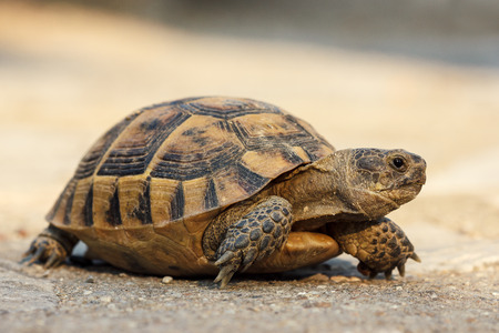 Photo for Turtle on the road - Royalty Free Image