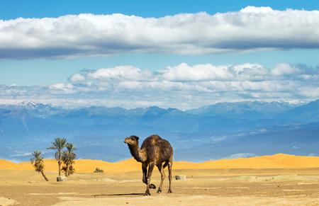 Foto de Camel in the Sahara desert - Imagen libre de derechos