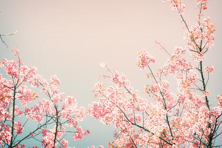 Photo pour Nature background of beautiful cherry pink flower in spring - vintage pastel color filter - image libre de droit