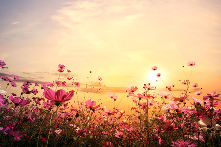 Photo pour Landscape nature background of beautiful pink and red cosmos flower field with sunset. vintage color tone - image libre de droit