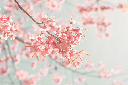 Photo pour Nature background of beautiful cherry pink flower in spring - vintage pastel color filter - image libre de droit