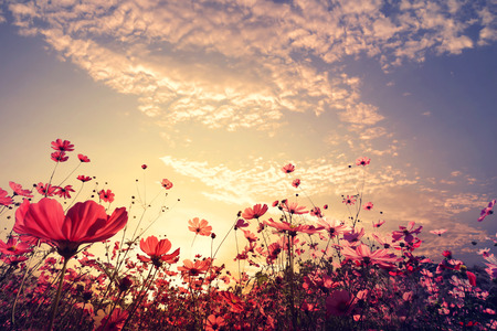 Photo for Landscape nature background of beautiful pink and red cosmos flower field with sunshine. vintage color tone - Royalty Free Image