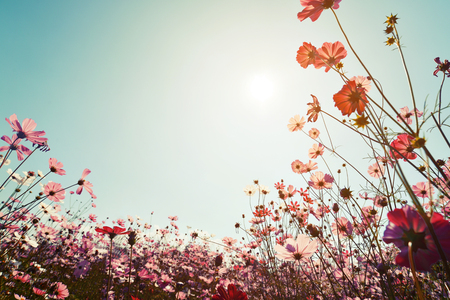Photo pour Vintage landscape nature background of beautiful cosmos flower field on sky with sunlight. retro color tone filter effect - image libre de droit