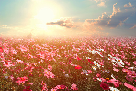 Foto de Landscape nature background of beautiful pink and red cosmos flower field with sunshine. vintage color tone - Imagen libre de derechos