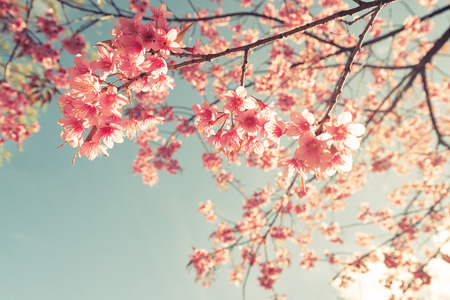 Photo for Vintage cherry blossom - sakura flower. nature background  (retro filter effect color) - Royalty Free Image