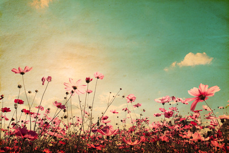 Foto de Vintage landscape nature background of beautiful cosmos flower field on sky with sunlight. retro color tone filter effect - Imagen libre de derechos
