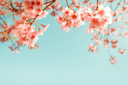 Photo for beautiful vintage sakura flower (cherry blossom) in spring. vintage color tone - Royalty Free Image