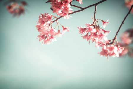 Close-up of sakura flower (cherry blossom) in spring. vintage color tone style.