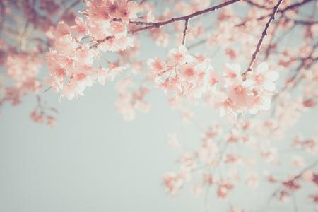 Photo pour Beautiful vintage sakura tree flower (cherry blossom) in spring. retro color tone style. - image libre de droit