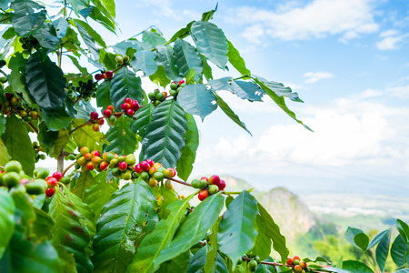 Photo for Fresh arabica coffee bean on tree at mountain northern of Thailand. - Royalty Free Image