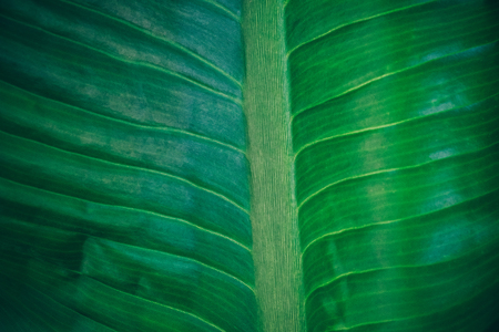 Close-up foliage of tropical leaf in dark green texture,  abstract nature background. vintage color tone.