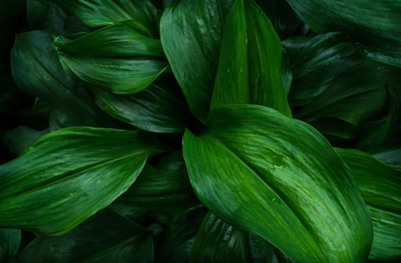 Photo for Large foliage of tropical leaf with dark green texture, abstract nature background. - Royalty Free Image