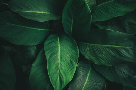 Foto de Large foliage of tropical leaf with dark green texture, abstract nature background. vintage color tone. - Imagen libre de derechos