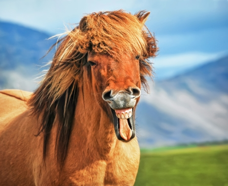 Photo for Icelandic horse smiling - Royalty Free Image