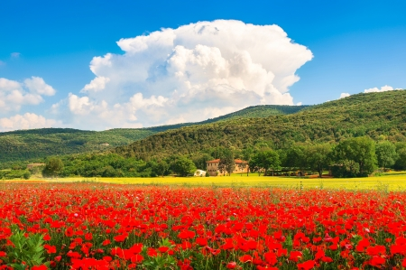 Photo pour Beautiful landscape with field of red poppy flowers and traditional farm house in Monteriggioni, Tuscany, Italy - image libre de droit