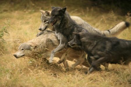 Foto de Wolf Pack Dynamics - Imagen libre de derechos