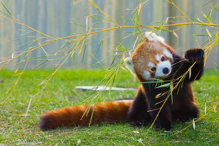 Photo pour The panda red or lesser panda (Ailurus fulgens) - image libre de droit