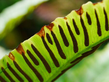Photo for Closeup of the back of a Hart's Tongue fern (asplenium scolopendrium) leaf with the spores forming dark stripes on the green leaf - Royalty Free Image