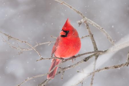 Photo pour Northern Cardinal perched on a branch in winter - image libre de droit